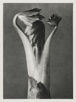 Tojad (Aconitum) - Stara fotografia, Karl Blossfeldt