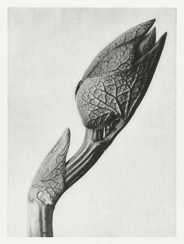 Kokornak powojnikowy (Aristolochia clematitis) - Stara fotografia, Karl Blossfeldt