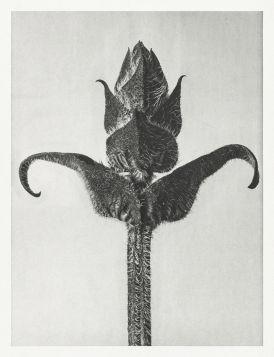 Głowienka wielkokwiatowa - Stara fotografia, Karl Blossfeldt