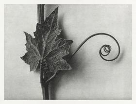 Przestęp biały - Stara fotografia, Karl Blossfeldt