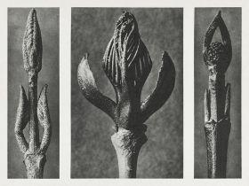 Pięknotka rozwidlona - Stara fotografia, Karl Blossfeldt