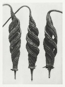 Loasaceae - Stara fotografia, Karl Blossfeldt