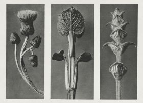 Ostrożeń siwy (Cirsium canum) - Stara fotografia, Karl Blossfeldt