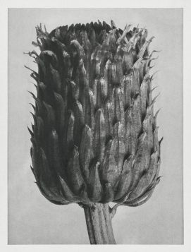 Ostrożeń siwy II (Cirsium Canum)