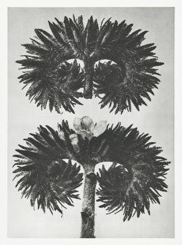 Facelia błękitna (Phacelia Tanacetifolia)  - Stara fotografia, Karl Blossfeldt