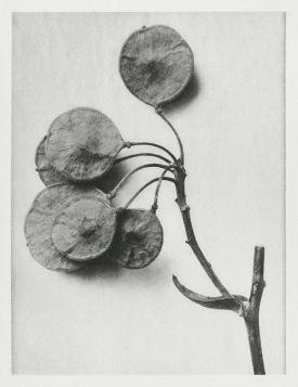 Parczelina trójlistkowa  - Stara fotografia, Karl Blossfeldt