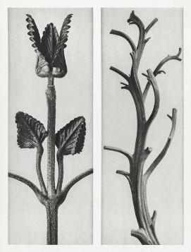 Czyściec wielkokwiatowy  - Stara fotografia, Karl Blossfeldt