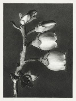 Borówka wysoka - Stara fotografia, Karl Blossfeldt