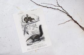 Lagun, Mrówkojad karłowaty i Mrówkojad olbrzymi - Rycina