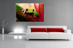 Żabka - Chwytnica czerwonooka